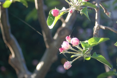 and the apple trees are starting to blossom.