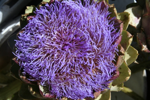Flowers are always in abundance at the market, but this week, there were also artichoke flowers from a Santa Cruz area farm. Artichoke flowers are so beautiful that some of our neighbors allow them to bloom instead of picking them to eat.