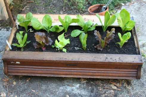 Lettuce in Top of Shelving Unit
