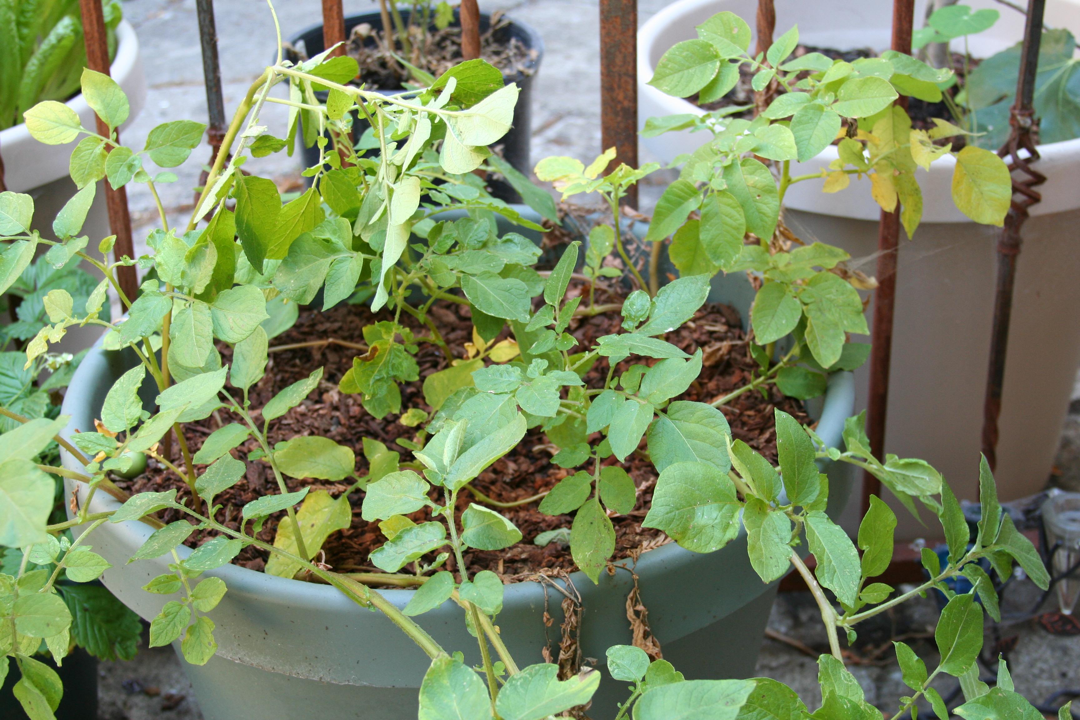 Yellow Potato Plant